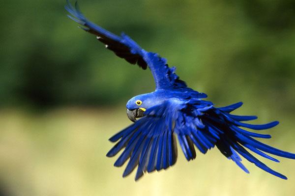 Arara Azul – Guia Completo de Criação e Reprodução  - Página 3 Arara-11
