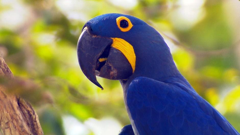 A Arara Azul está em Extinção no Brasil? Araras10
