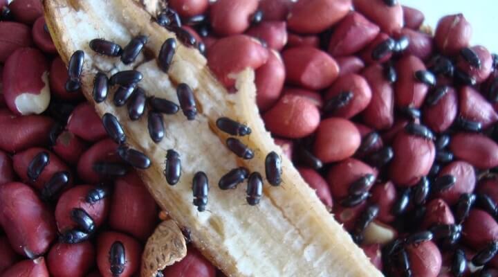 Como criar Besouro do Amendoim Besour10
