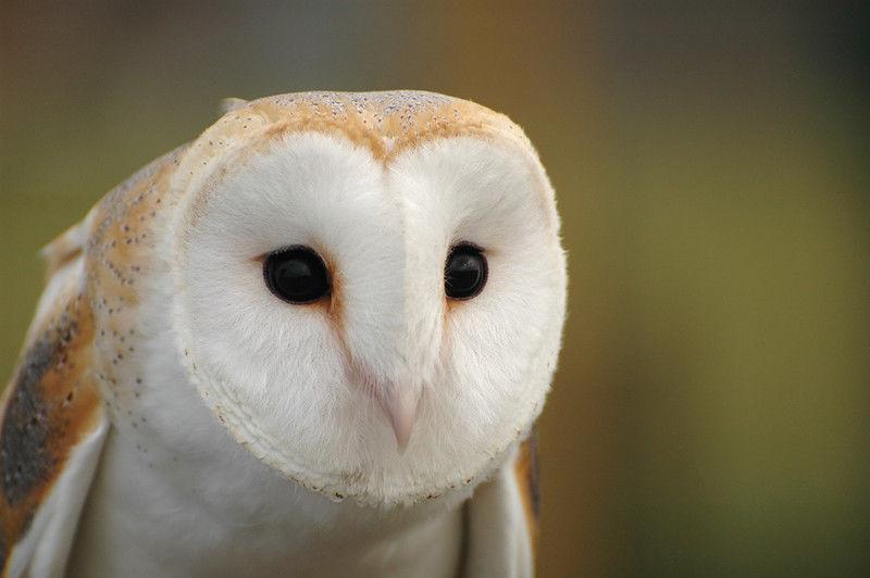 Espécie Coruja - Tyto alba Mig10