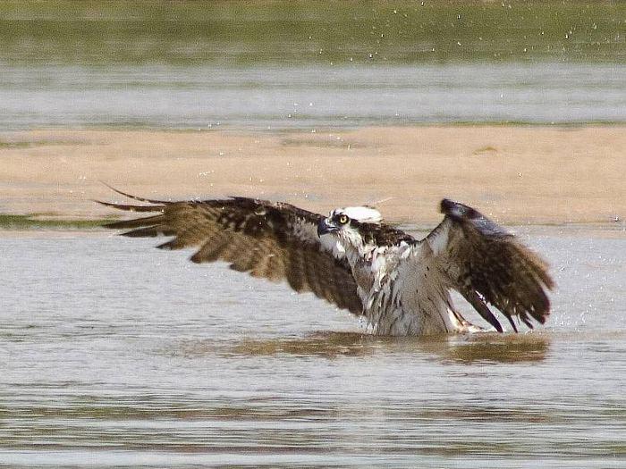 Águia-pescadora Pandion haliaetus (Linnaeus, 1758) Pandio11