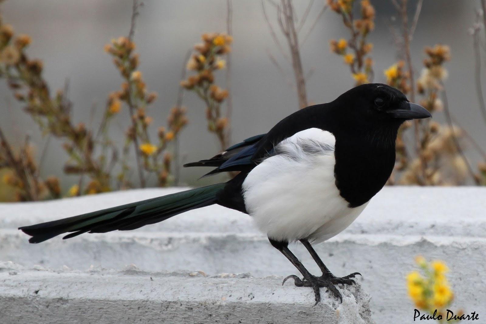 A pega-rabuda ou pega-rabilonga  Pega-r10