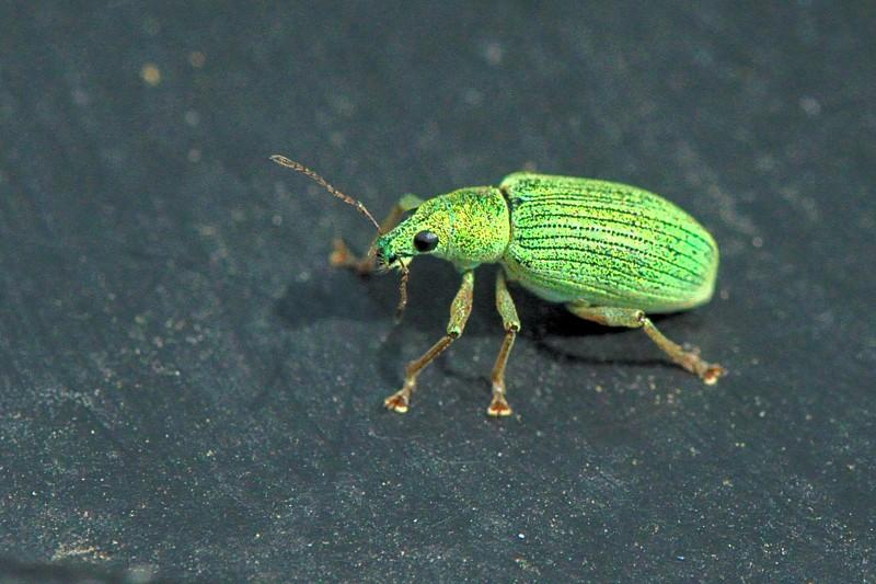 Charançon vert (Polydusus sp) Dsc_0411