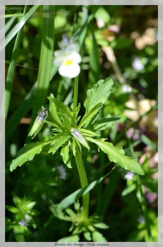 Pensée des champs - Viola arvensis Fleur010