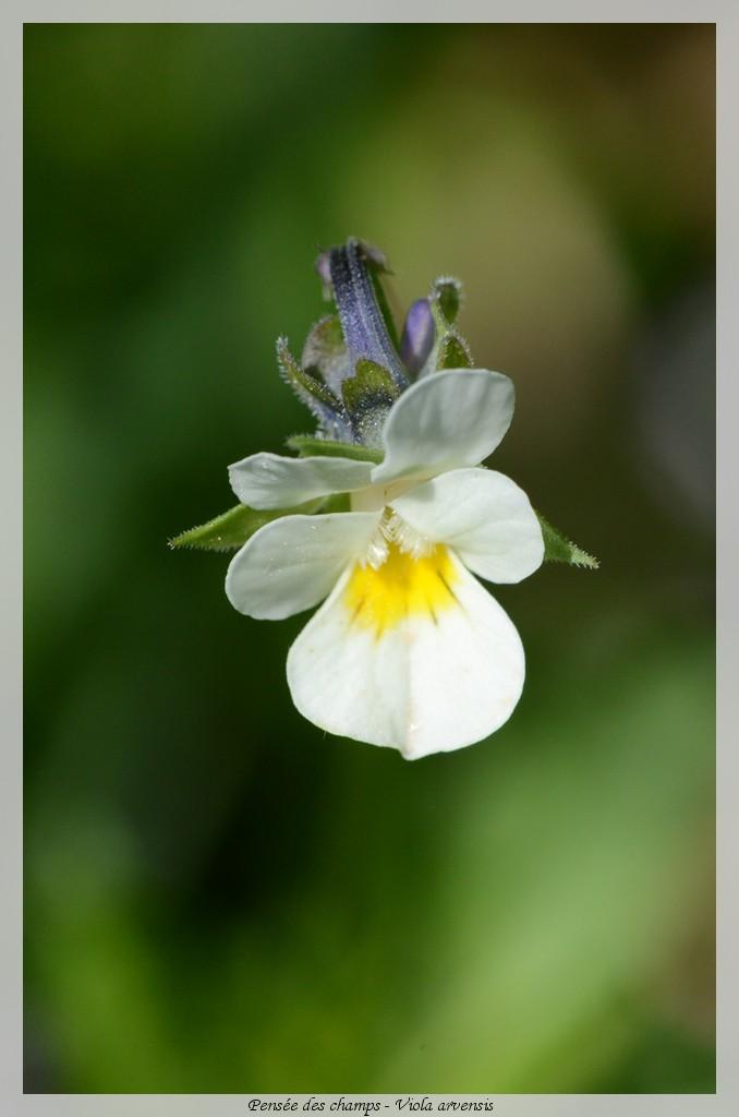 Pensée des champs - Viola arvensis Fleur011