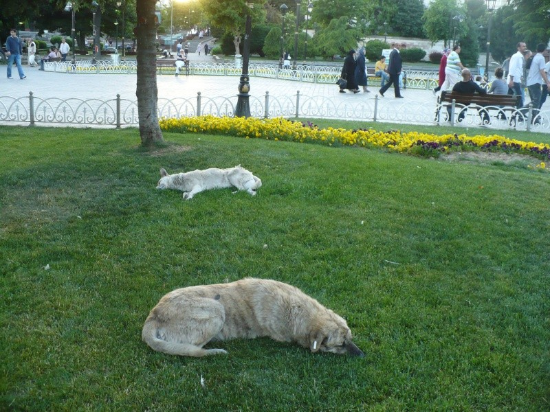 Chiens oublié la lutte pour la survie Istanbul. P1160310