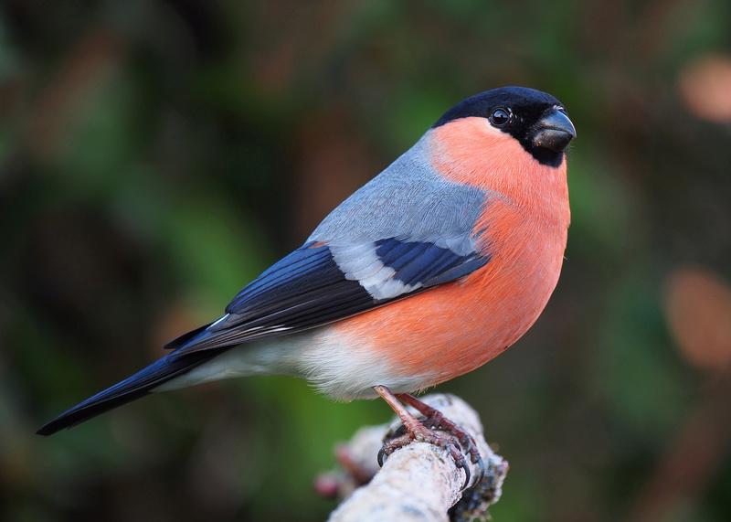 Breeds of Birds Bullfi10
