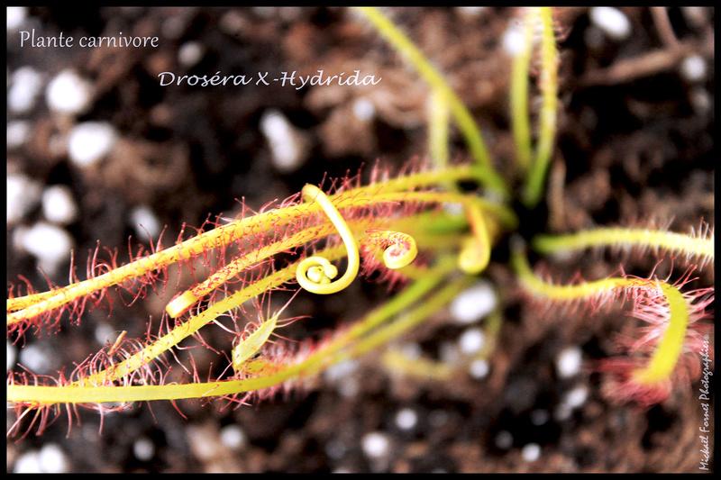 Plantes carnivores Img_7010