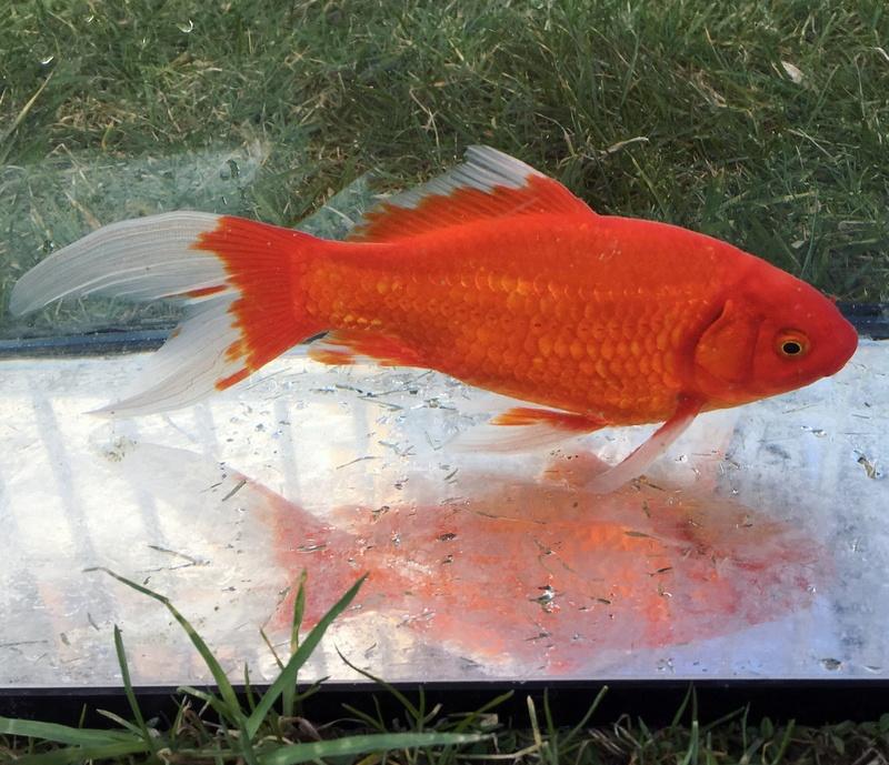 Des poissons rouges Ardennais ! Img_0310