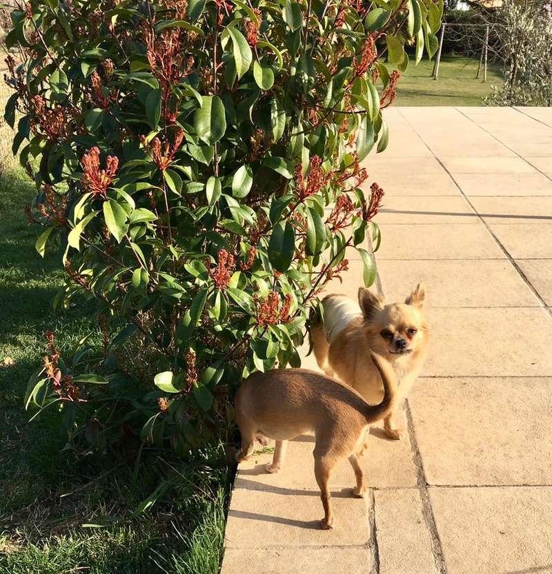 CALICE chihuahua poils mi longs 8 ans Temp161