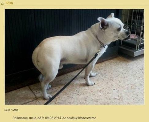 IRON chihuahua 4 ans Temp253