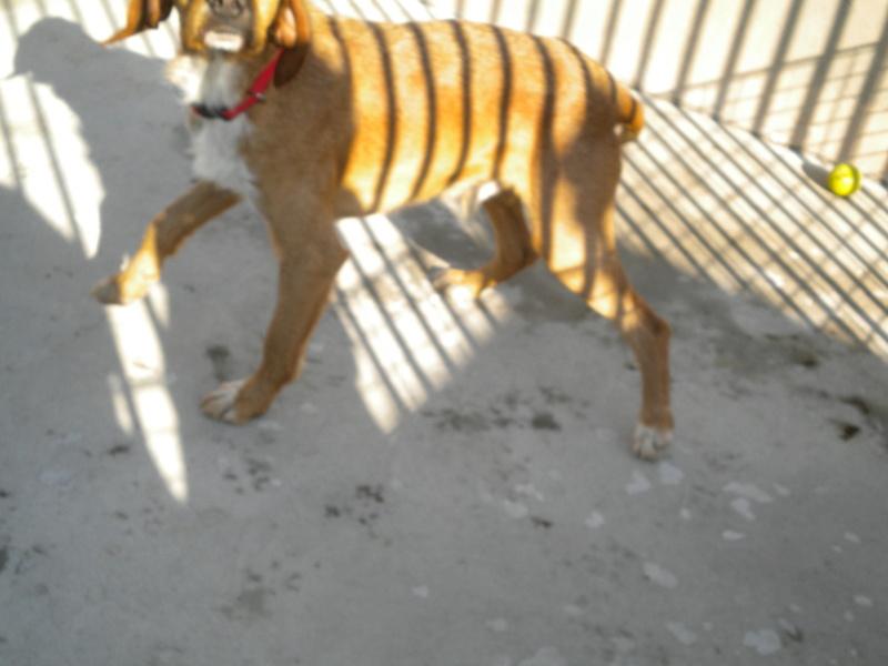 FAUVE (chien croisé fauve de Bretagne) Dscn2711