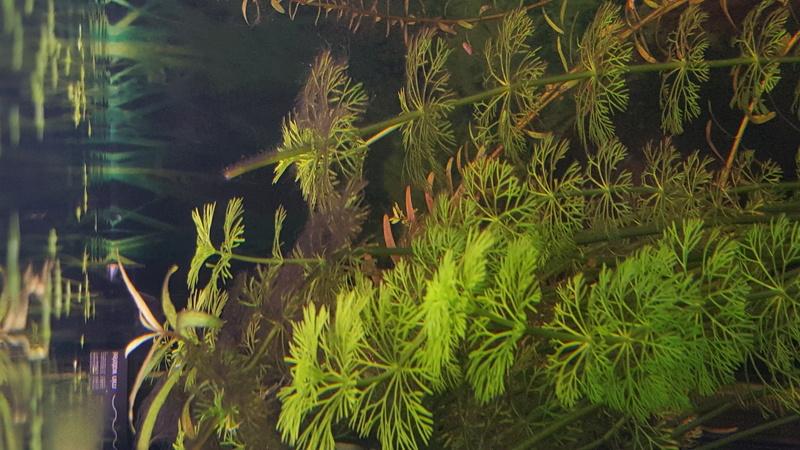 algues sur les plantes? 20170614