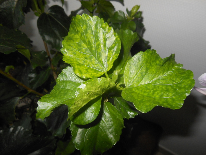 Hibiscus taché Hibisc10