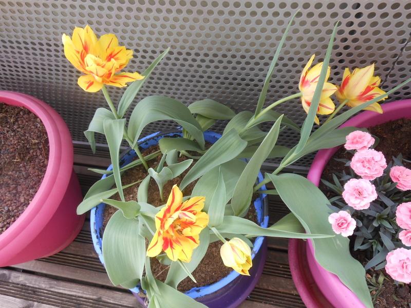 Les fleurs de mon balcon  Tulipe11