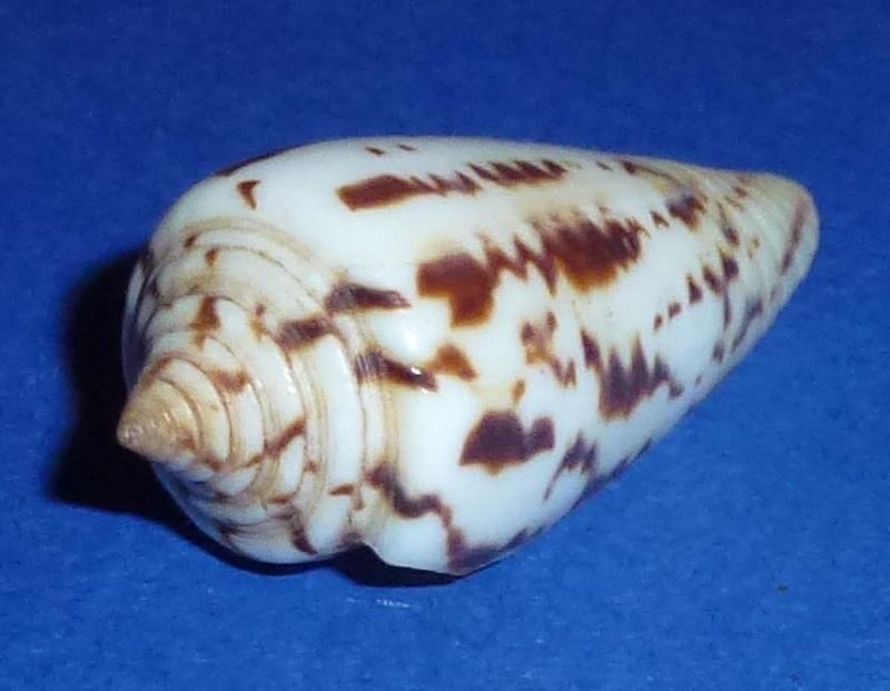 Conus (Phasmoconus) janus   Hwass in Bruguière, 1792 675_ma11