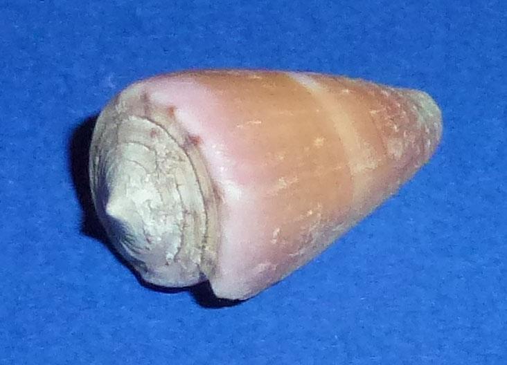 Conus (Strategoconus) circumactus   Iredale, 1929 92_con10