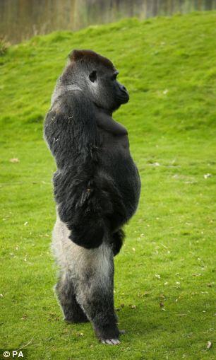 """""""Vingt Dieux"""" !!!  - Page 2 Gorill12"""