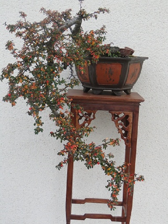 Cotoneaster 00212