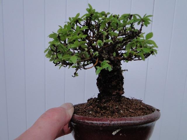 ulmus parvifolia jacquin  Dsc05010