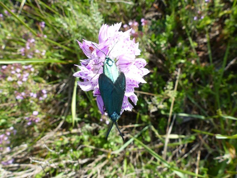 Papillons sur une orchis trois dents P1090317