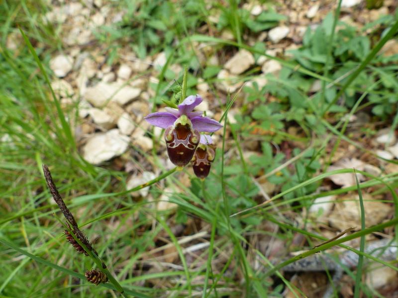 Ophrys gresivaudanica P1100018