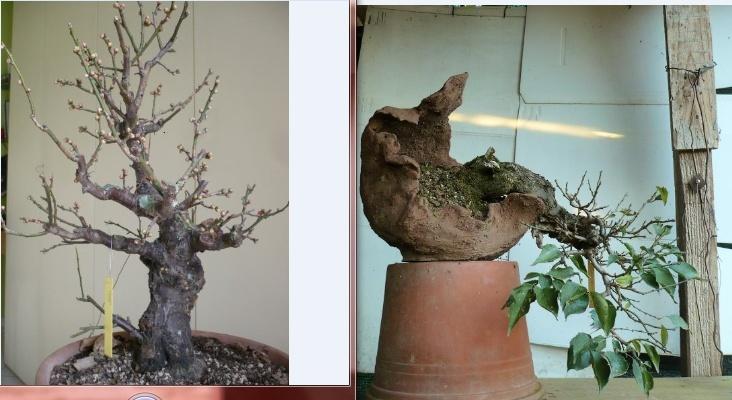 RESTYLING.....Prunus mume. - Pagina 4 Cattur11