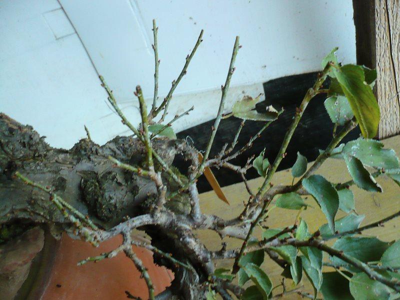 RESTYLING.....Prunus mume. - Pagina 4 P1070932