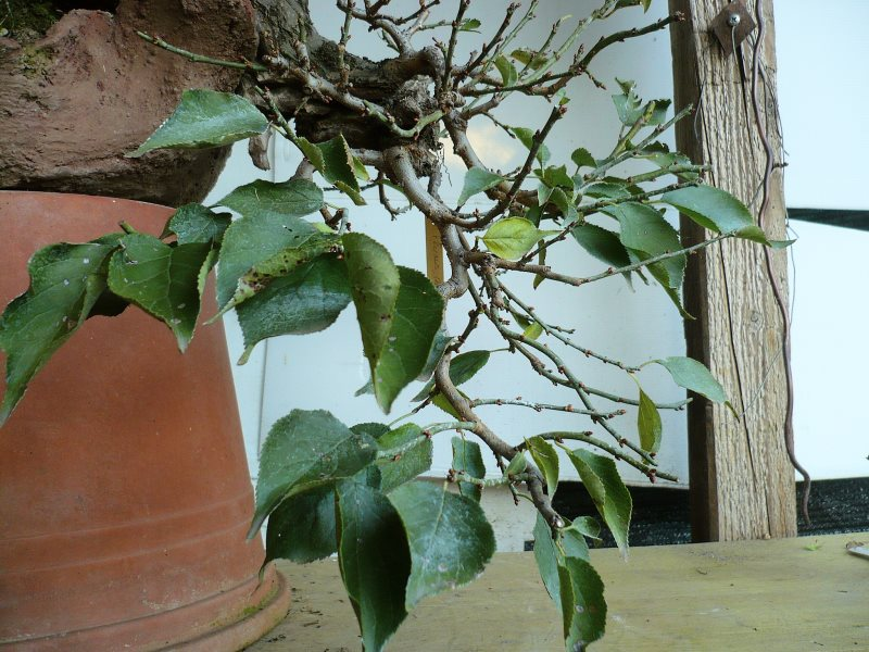 RESTYLING.....Prunus mume. - Pagina 4 P1070933