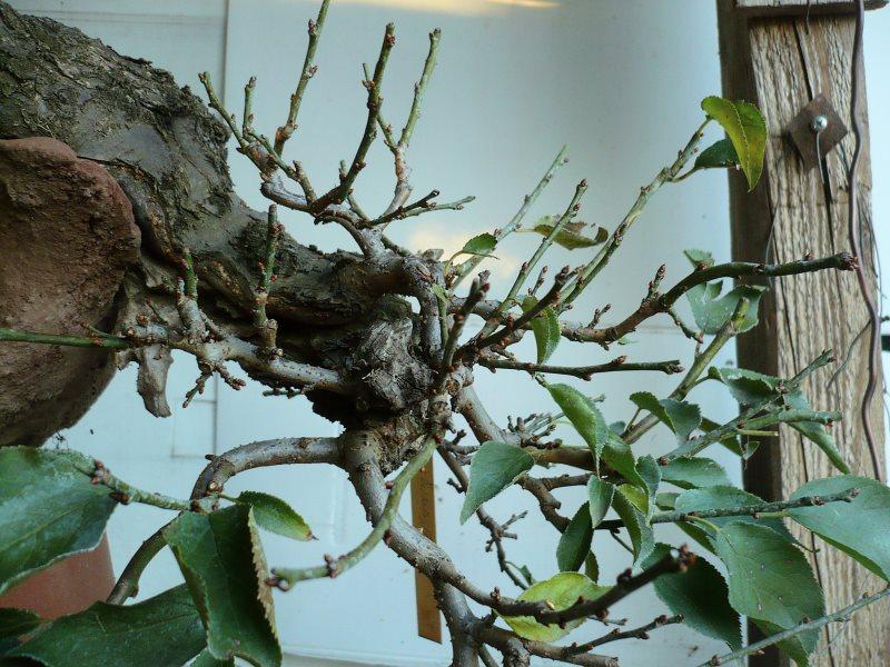 RESTYLING.....Prunus mume. - Pagina 4 P1070934