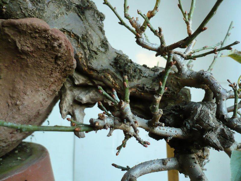 RESTYLING.....Prunus mume. - Pagina 4 P1070935