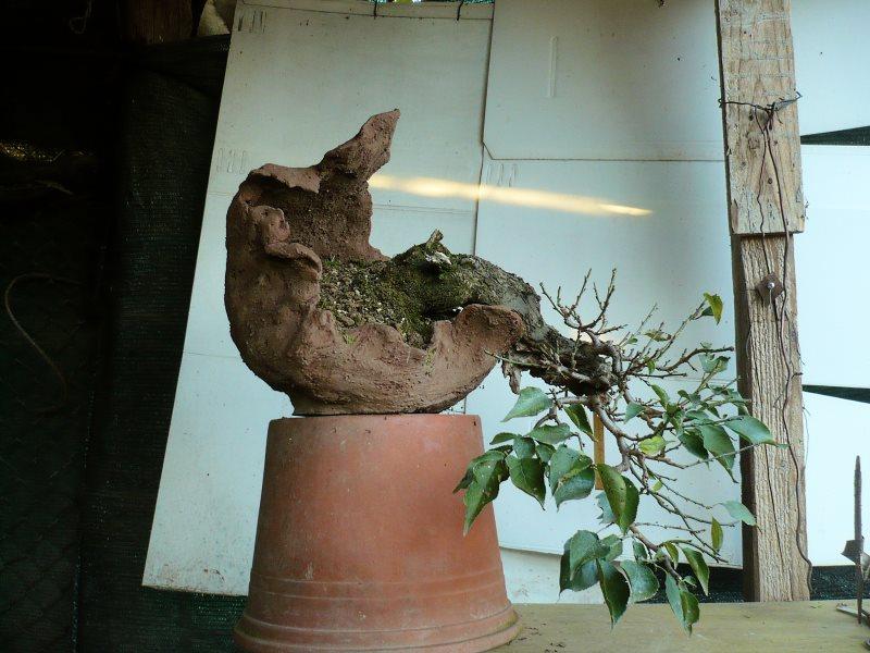 RESTYLING.....Prunus mume. - Pagina 4 P1070937