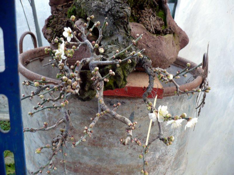 RESTYLING.....Prunus mume. - Pagina 4 P1080051