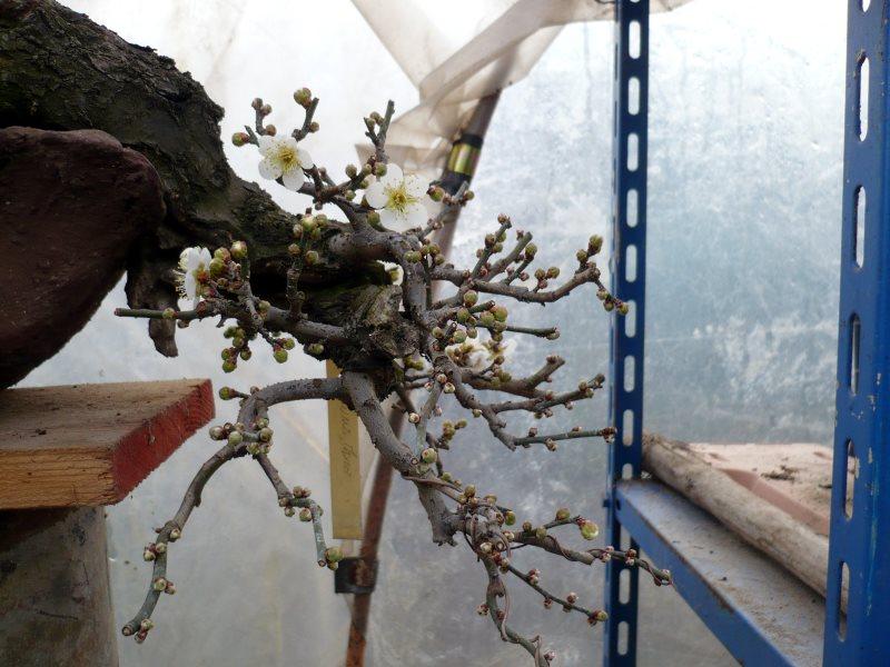 RESTYLING.....Prunus mume. - Pagina 4 P1080052