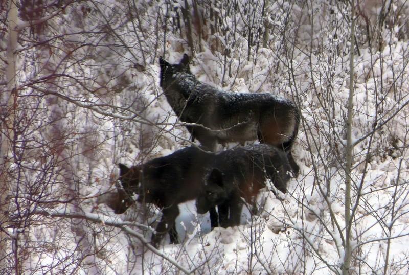 Loup... Moolfe10