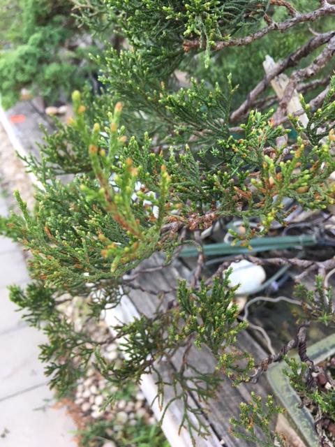 juniper tip blight or diplodia Img_7111