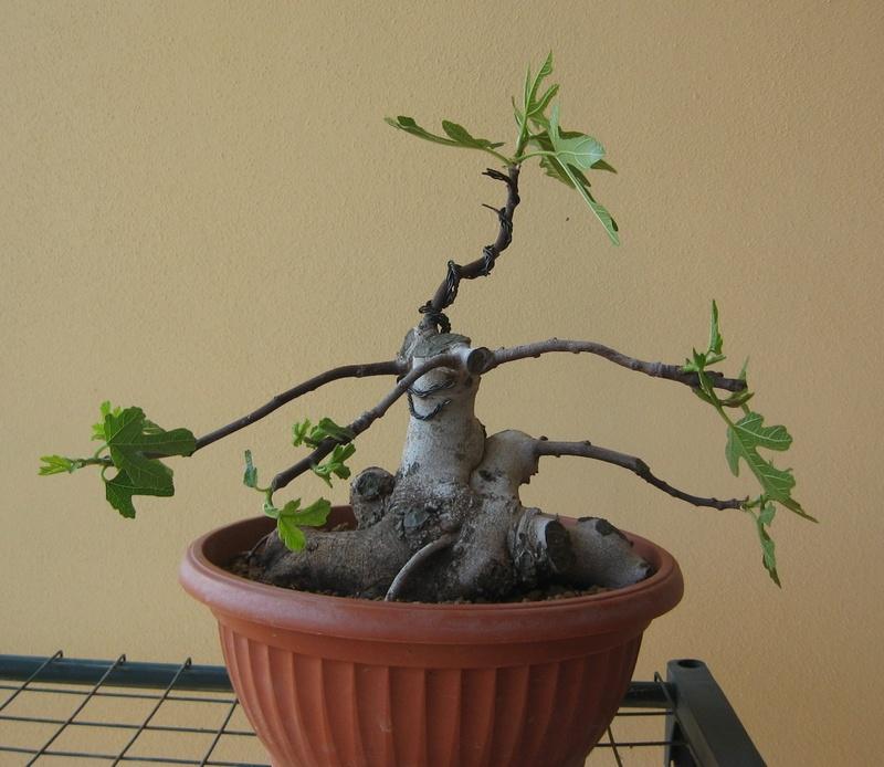Piccolo Ficus Carica - Pagina 4 Img_7310