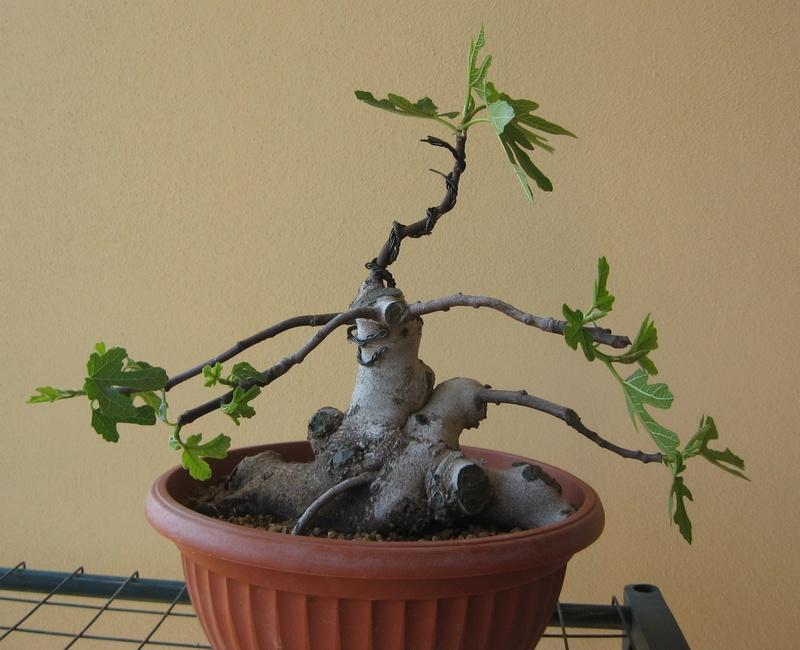 Piccolo Ficus Carica - Pagina 4 Img_7311