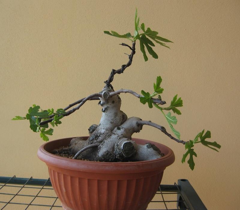 Piccolo Ficus Carica - Pagina 4 Img_7312