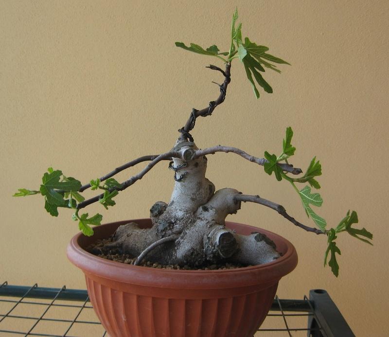 Piccolo Ficus Carica - Pagina 4 Img_7313