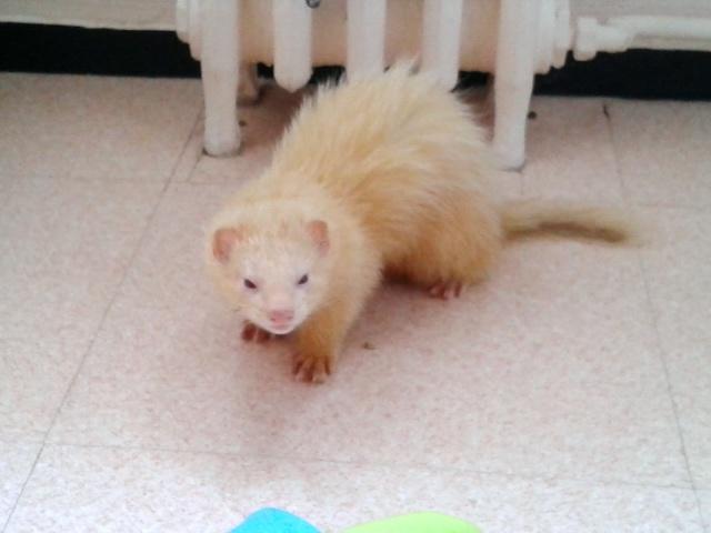 """[Décédé] Crapule (dit """"p'tit doudou""""), mâle albinos - Page 2 20140515"""