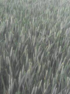 suivi des blés tendre 2017 - Page 5 Dsc_0011