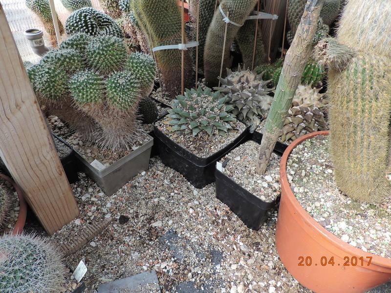 Cacti and Sukkulent in Köln, every day new flowers in the greenhouse Part 161 01611