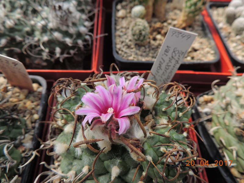 Cacti and Sukkulent in Köln, every day new flowers in the greenhouse Part 161 03510