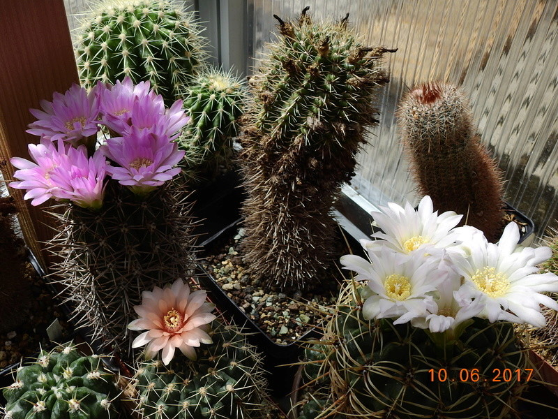 Cacti and Sukkulent in Köln, every day new flowers in the greenhouse Part 165 Bild1000