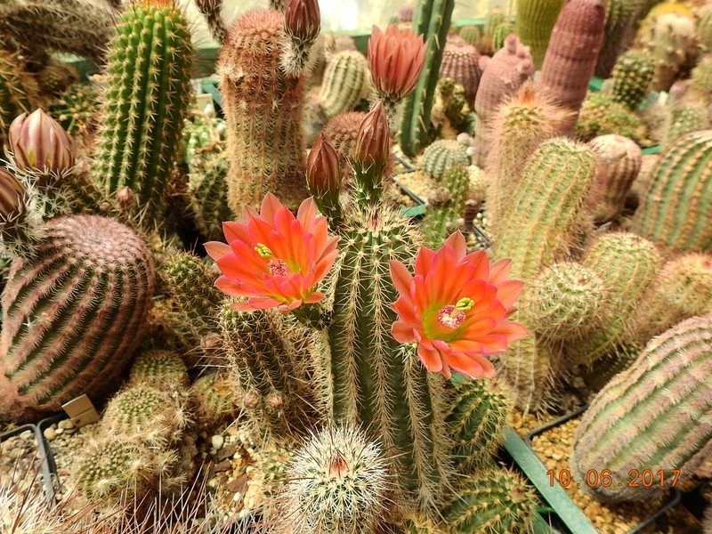 Cacti and Sukkulent in Köln, every day new flowers in the greenhouse Part 165 Bild1001