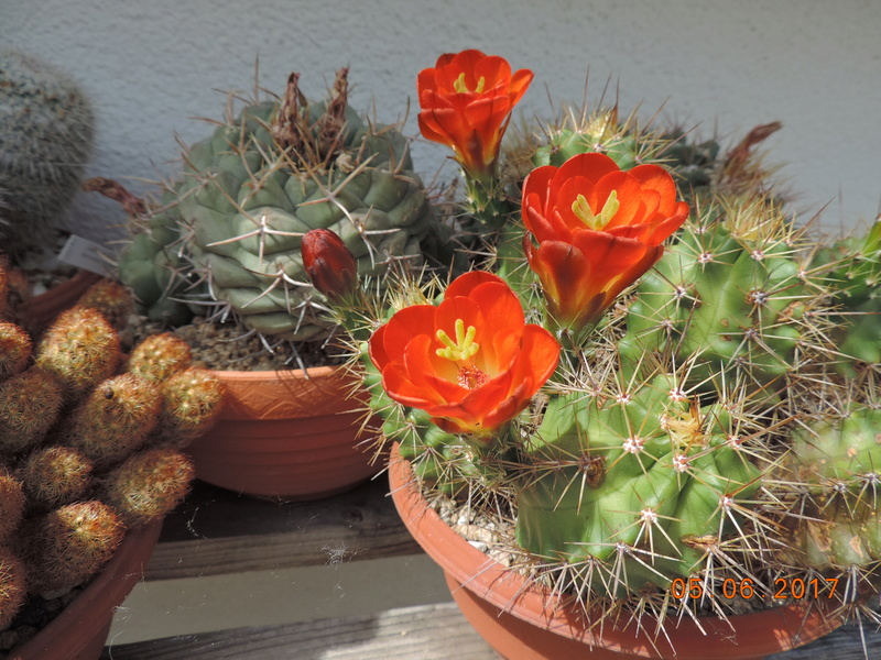 Cacti and Sukkulent in Köln, every day new flowers in the greenhouse Part 165 Bild1016