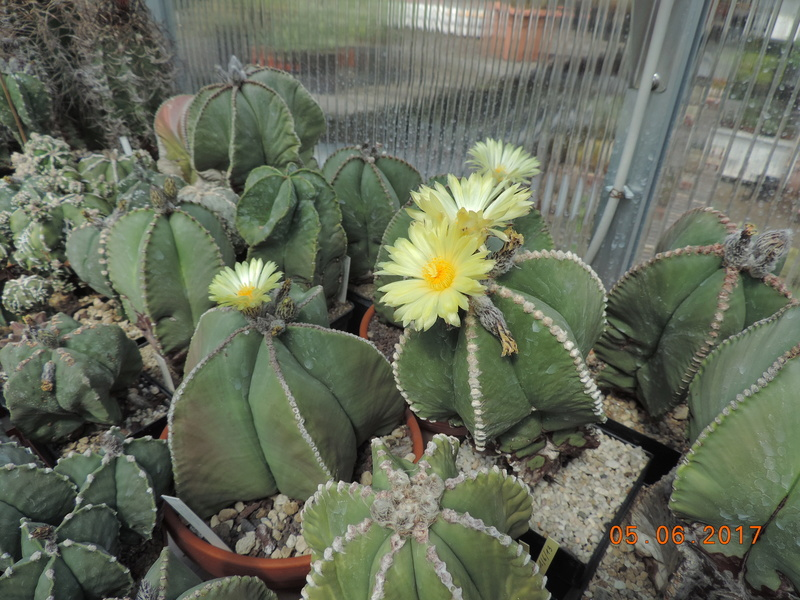 Cacti and Sukkulent in Köln, every day new flowers in the greenhouse Part 165 Bild1018