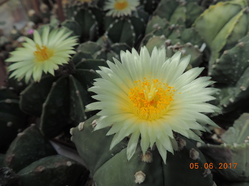 Cacti and Sukkulent in Köln, every day new flowers in the greenhouse Part 165 Bild1020