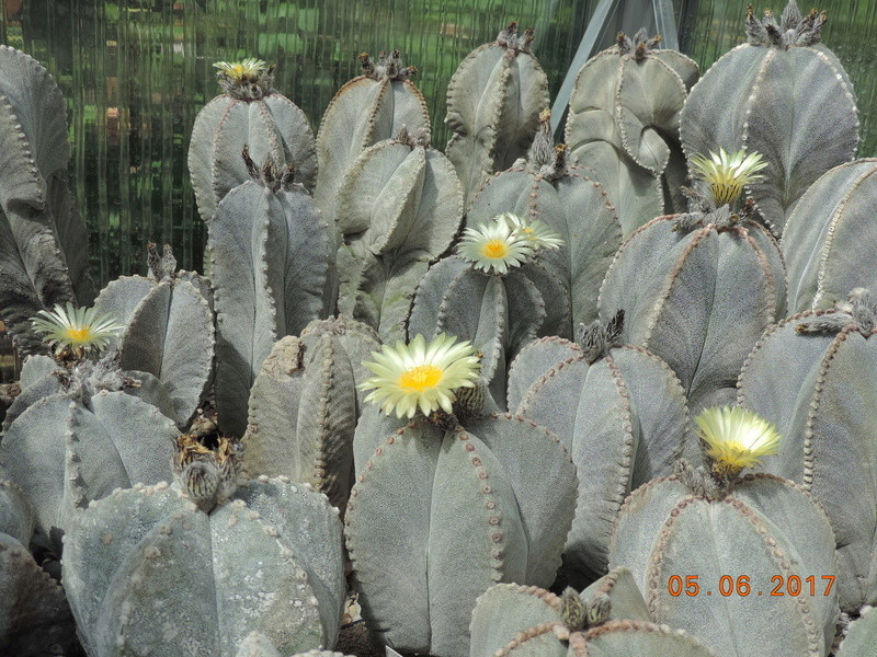 Cacti and Sukkulent in Köln, every day new flowers in the greenhouse Part 165 Bild1025